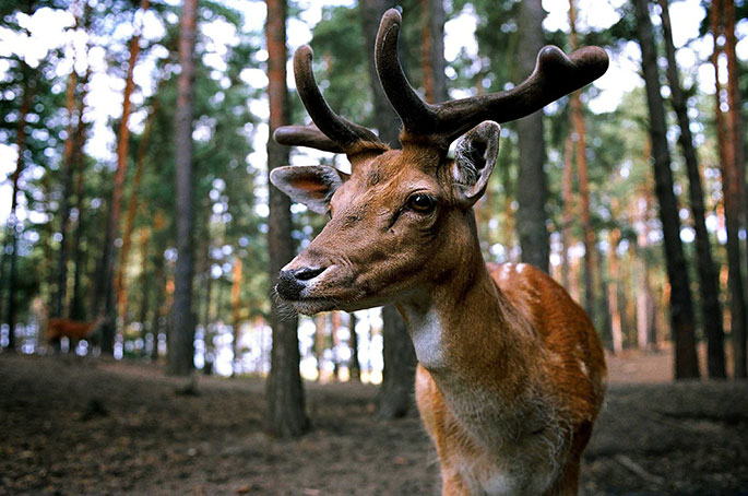Deer eye on trail camera